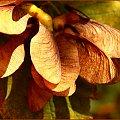 I-Klon - owoc #Klon #owoc #nasiona