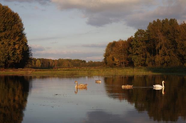#jesień #łabędzie