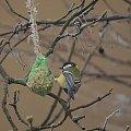Dokarmianie Sikorek w Suwałkach #dokarmianie #ptaki #Sikorki #Suwałki