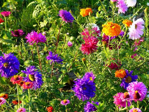 astry, aksamitki i cynie #kwiaty