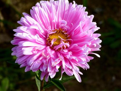 aster #kwiaty