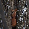 Baśka ;) #zima #las #wiewiórka #drzewa