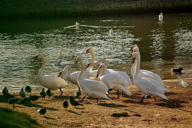 """czasami balans """"zbacza"""" z wyznaczonej drogi (mankament aparatu?) #łabędzie #ptaki"""