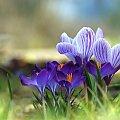 Krokusiki na fioletowo ... #krokusy #kwiaty #fiolet #wiosna