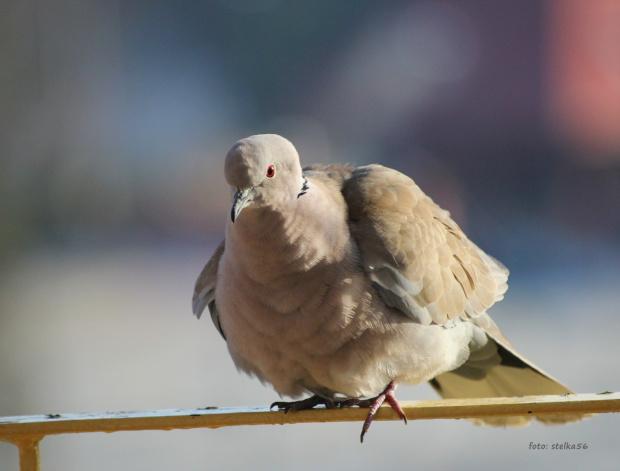 ... **** ulub. tabaz1; videll **** #cukrówki #gołębie #NaBalkonie #ptaki #wiosna #sierpówki