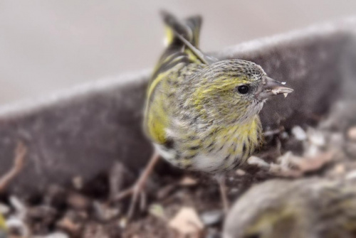 czyż #przyroda #ptaki #wiosna