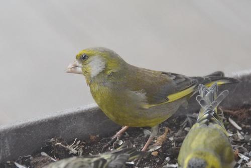 dzwoniec #przyroda #ptaki #wiosna