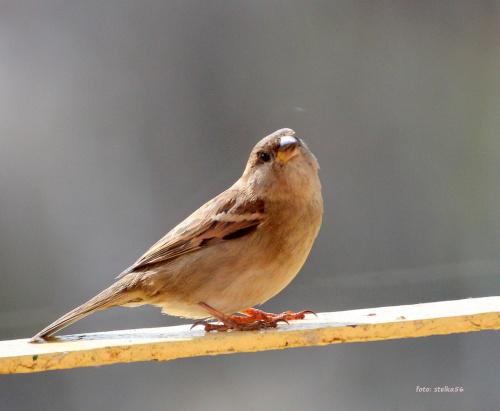 w karmniku pusto, a one wciąż przylatują ... :) #ptaki #wróble #NaBalkonie #wiosna