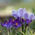 Wiosennie ... #fiołki #krokusy #kwiaty #wiosn