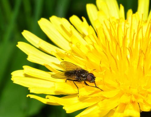 Z muchą w roli głównej - mucha czyścioszka myje łapki przed jedzeniem