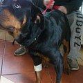 Abra #rottka #fundacja #hodowla #adopcja #pies #psy