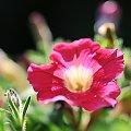 kwiaty,owady w macro #macro #owady #róze #kwiaty #alicjaszrednicka