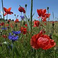 makowe pole - na jęczmiennym polu :) #maki #pola #przyroda