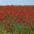 makowe pole - na jęczmiennym polu :) **** ulub. inka47 **** #maki #pola #przyroda