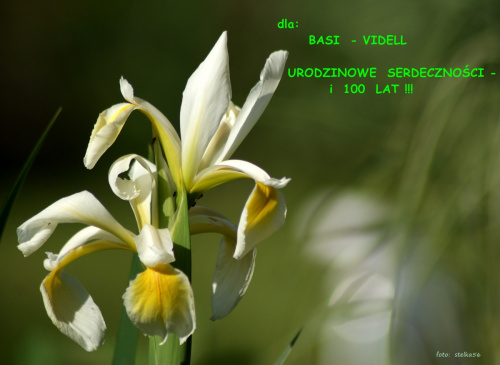 Bądź taka jak wiosna, po prostu radosna ... :) 100 LAT !!! #irysy #kwiaty #ogród #urodziny #wiosna #życzenia