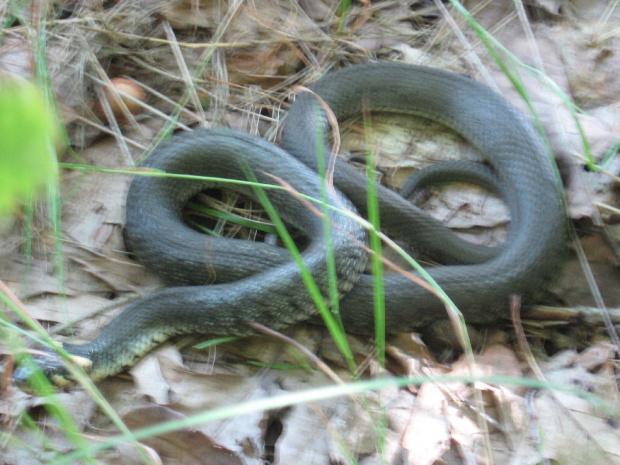 Tu już tylko jeden wąż, długość ok. 1 metr, średnica na środku długości ciała ok. 3 cm #zaskroniec