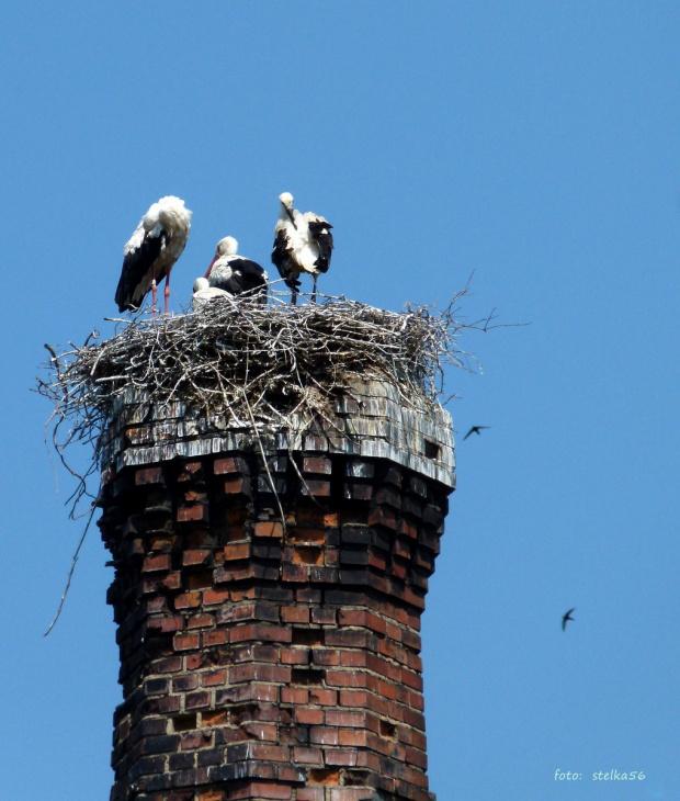 w miejscu: Głubczyce, ul. Oświęcimska; komin przemysłowy #bociany #Głubczyce #lato #ptaki