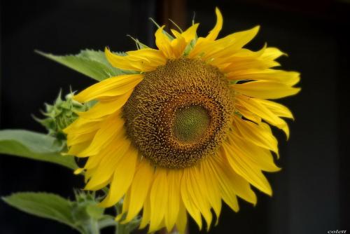 #przyroda #lato #kwiaty #słónecznik