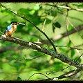Wakacyjne spotkania z ptaszkami - zimorodek #dzięcioł #gąsiorek #kraska #sikorka
