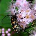 Strangalia plamista ... nie zależy jej na pozowaniu :) #StrangaliaPlamista #owad