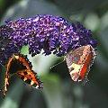 motyl na lewa strone:)) #motyle #natura #macro