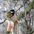 #Sikorki #Ptaki