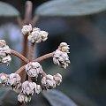 zimotrwałe (w szczecińskim klimacie) kwiaty kaliny sztywnolistnej #ogród #przyroda #zima