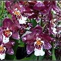 orchidee i storczyki z wyspa Mainau #przyroda