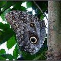 -motyle oczko- #przyroda