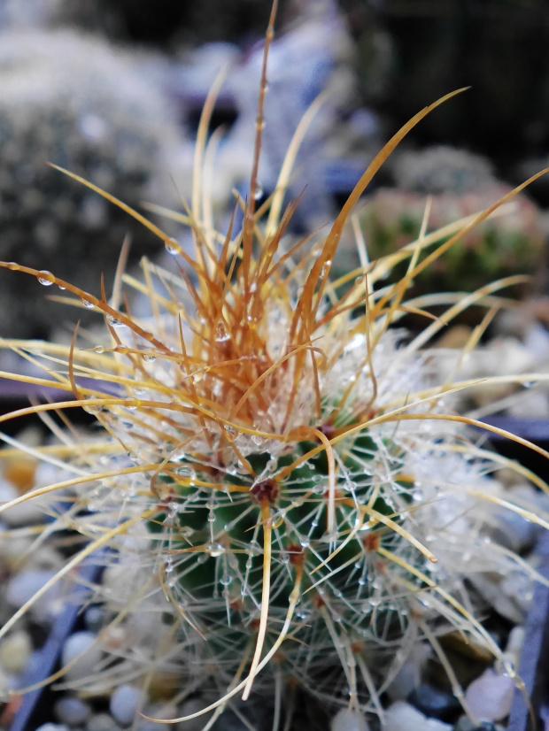 Parodia maxima #kaktusy #rosa