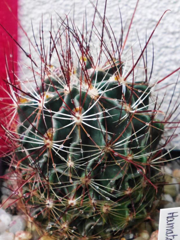 Hamatocactus #kaktusy #rosa