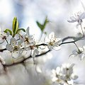 Biała wiosna ... #białe #kwiaty #drzewo #owocowe #wiosna