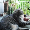 Portos w Echinopsisach #kot #kaktus
