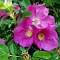 Dzika róża #kwiatki