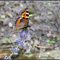 rusałka pokrzywnik #motyle