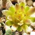 Gymnocalycium mihanovichii #kaktusy