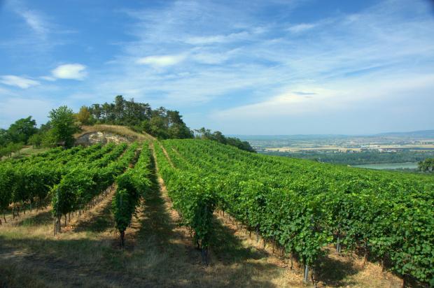 Winnice w pobliżu Hollenburg