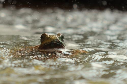 Żaba fontannowa